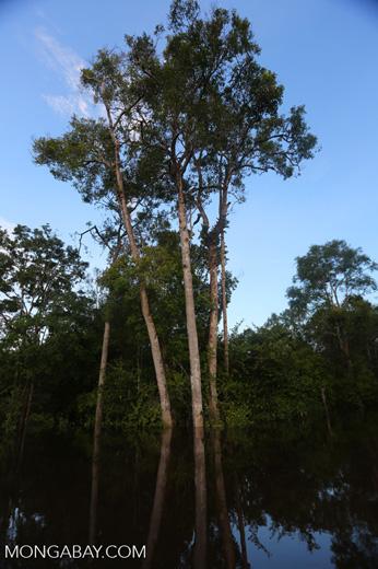 Peat forest in Borneo [kalteng_0594]