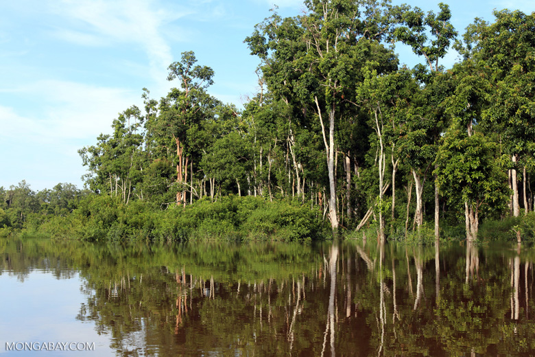 Peat forest in Borneo [kalteng_0700]