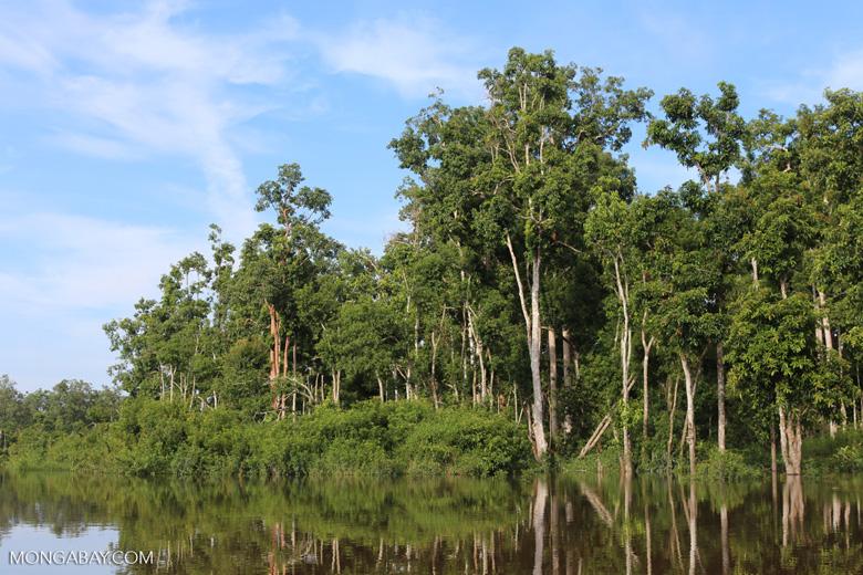 Peat forest in Borneo [kalteng_0701]