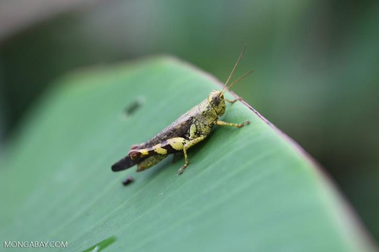 Yellow grasshopper [kalteng_0719]