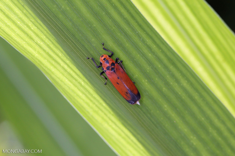 Orange leafhopper [kalteng_0720]