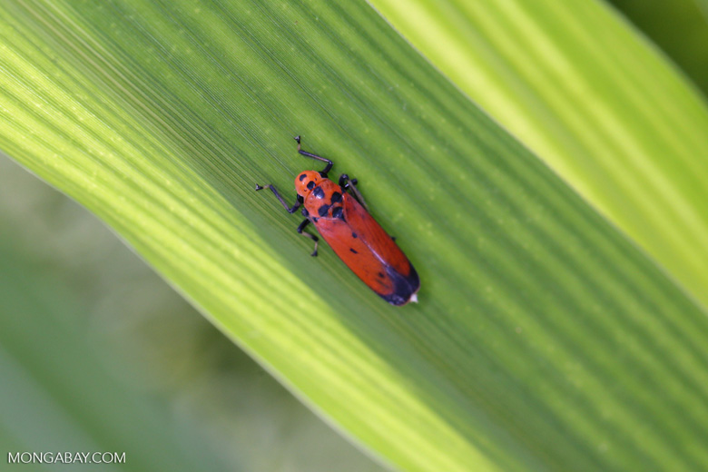 Orange leafhopper [kalteng_0721]