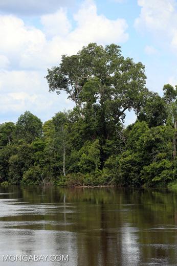 Peat forest in Borneo [kalteng_0756]