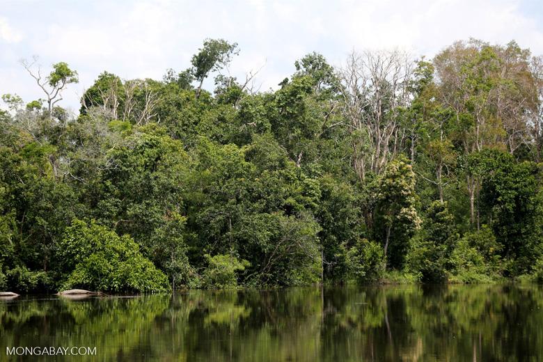 Peat forest in Borneo [kalteng_0764]