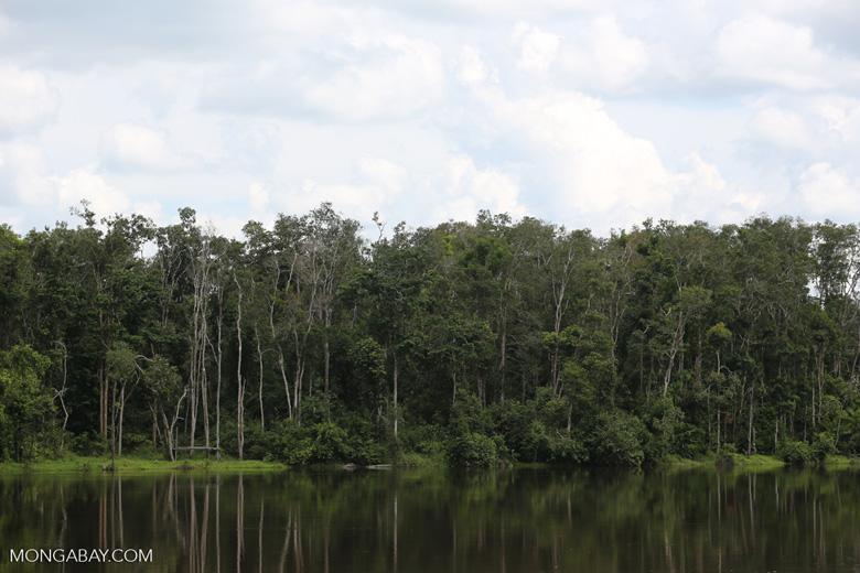Peat forest in Borneo [kalteng_0768]