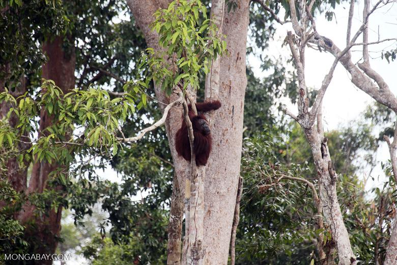 Borneo orangutan [kalteng_0777]
