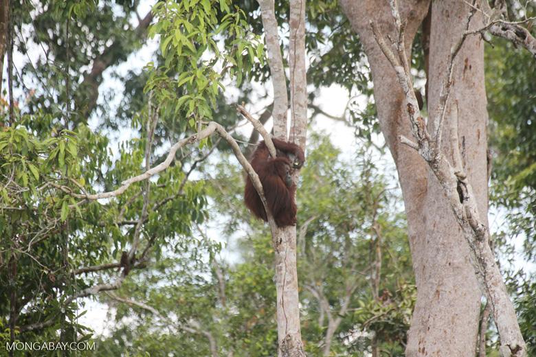 Borneo orangutan [kalteng_0782]