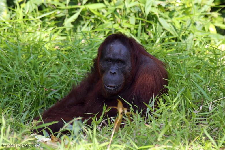 Bornean orangutan [kalteng_0844]