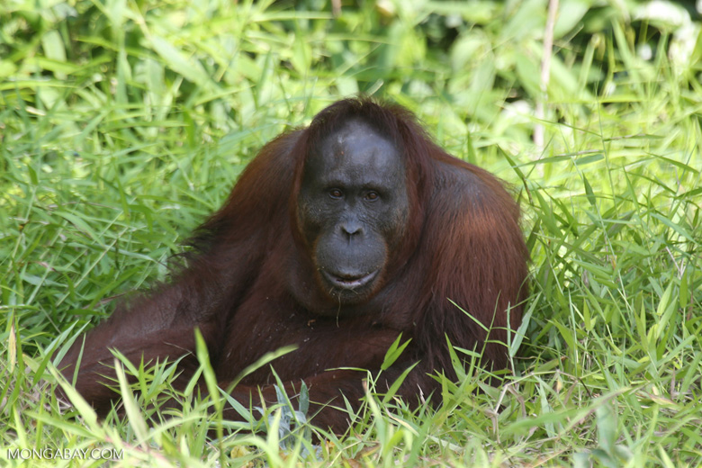Bornean orangutan [kalteng_0853]