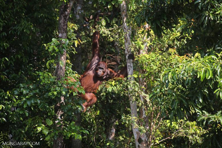 Bornean orangutan [kalteng_0856]
