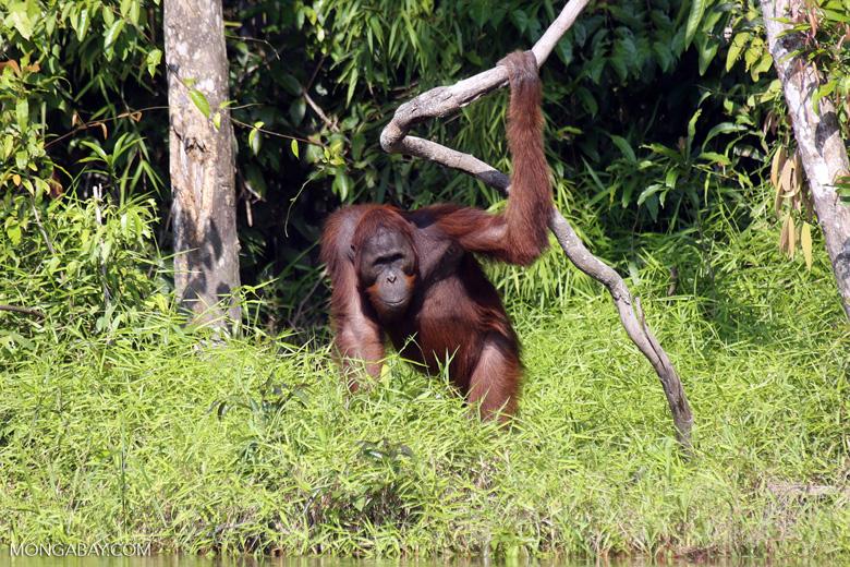 Bornean orangutan [kalteng_0869]