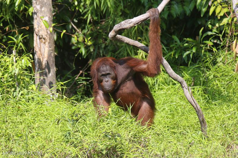 Bornean orangutan [kalteng_0875]