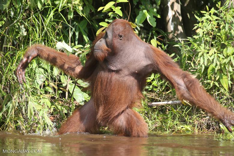 Bornean orangutan [kalteng_0882]