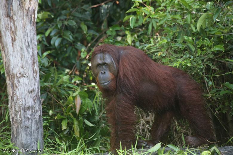 Bornean orangutan [kalteng_0889]