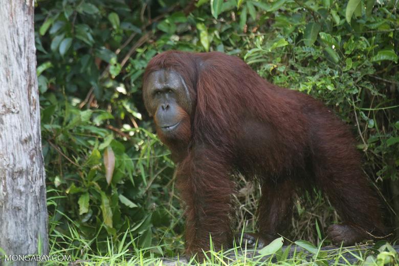Bornean orangutan [kalteng_0894]