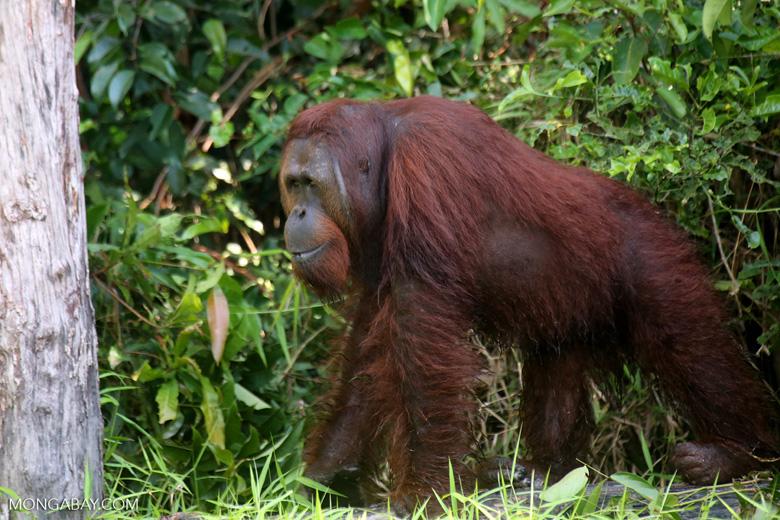 Bornean orangutan [kalteng_0895]