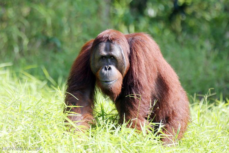 Bornean orangutan [kalteng_0909]