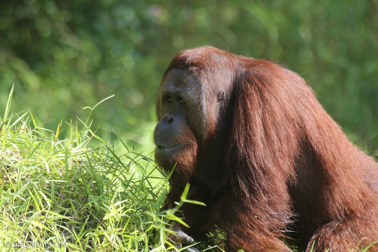 Bornean orangutan [kalteng_0911]
