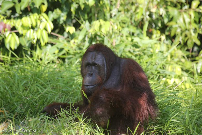 Bornean orangutan [kalteng_0913]