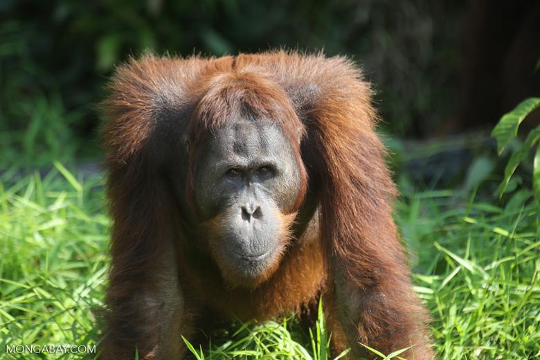 Bornean orangutan [kalteng_0919]