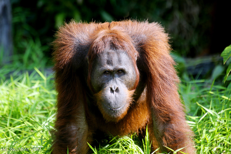 Bornean orangutan [kalteng_0920]