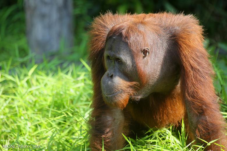 Bornean orangutan [kalteng_0924]