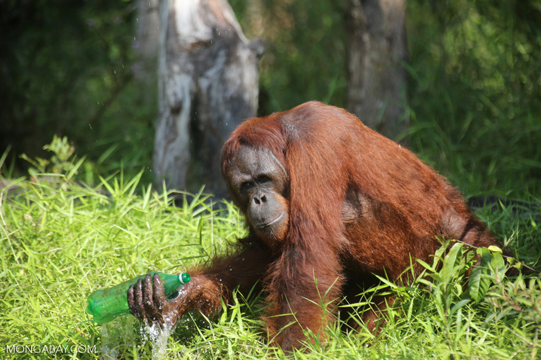 Bornean orangutan that has found a plastic bottle and filled it with river water to drink [kalteng_0942]