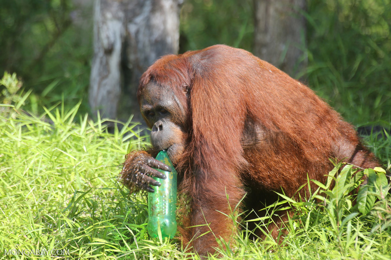 Bornean orangutan that has found a plastic bottle and filled it with river water to drink [kalteng_0945]