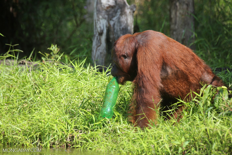 Bornean orangutan that has found a plastic bottle and filled it with river water to drink [kalteng_0953]