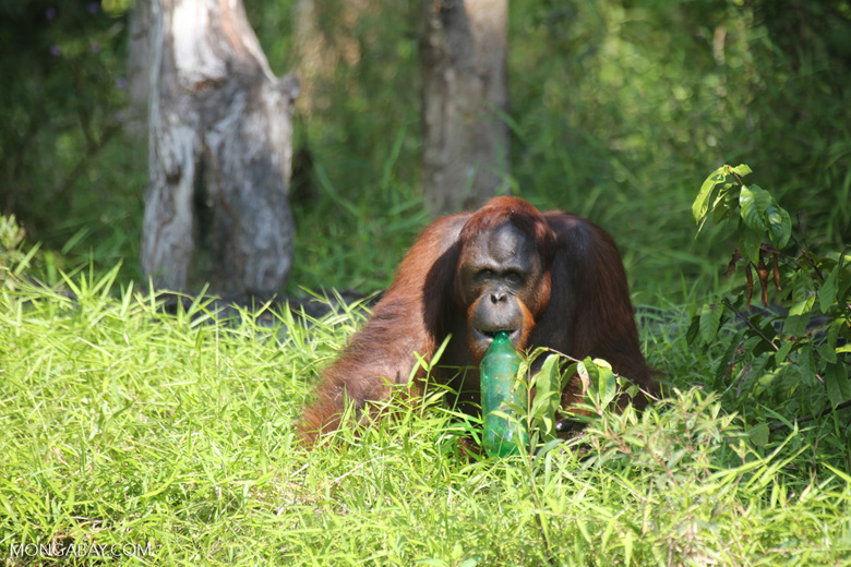 Bornean orangutan that has found a plastic bottle and filled it with river water to drink [kalteng_0956]