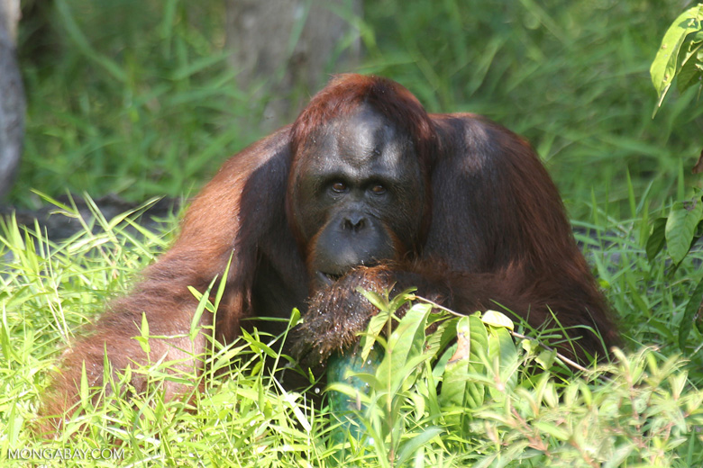 Bornean orangutan that has found a plastic bottle and filled it with river water to drink [kalteng_0958]