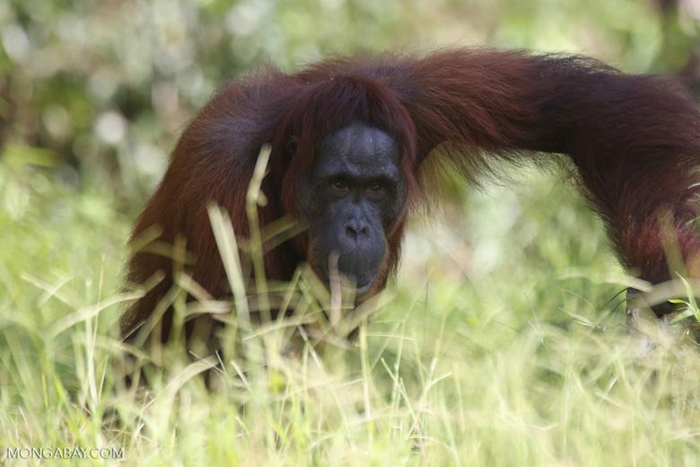 Bornean orangutan in Central Kalimantan [kalteng_0966]