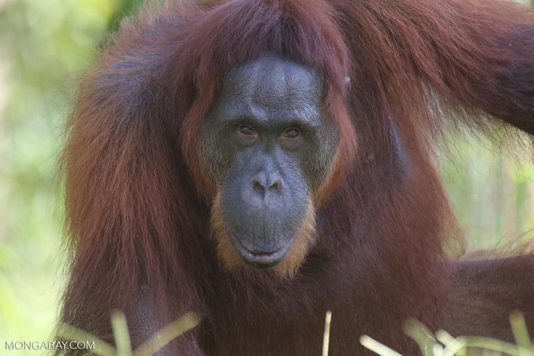 Bornean orangutan in Borneo [kalteng_0972]