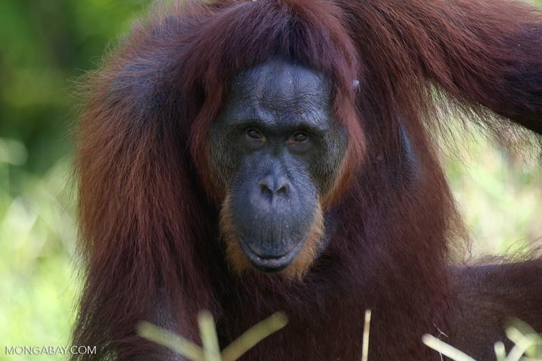Bornean orangutan in Indonesian Borneo [kalteng_0974]