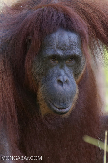 Bornean orangutan in Indonesian Borneo [kalteng_0978]