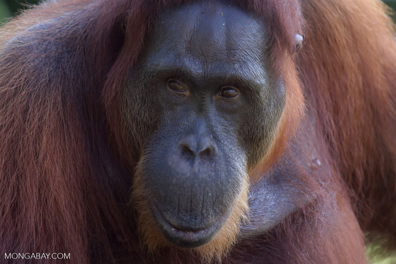 Bornean orangutan in Central Kalimantan