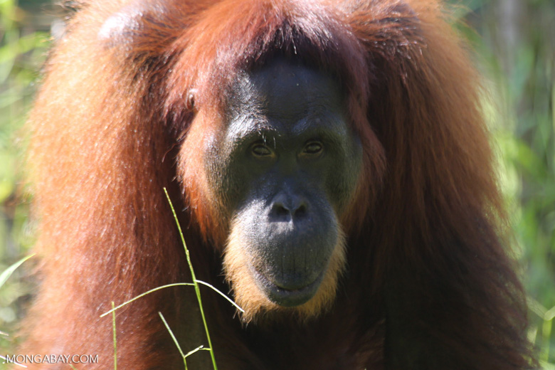 Bornean orangutan in Borneo [kalteng_0990]