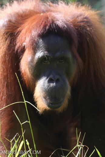 Bornean orangutan in Borneo [kalteng_0992]