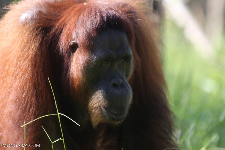 Bornean orangutan in Borneo [kalteng_0995]