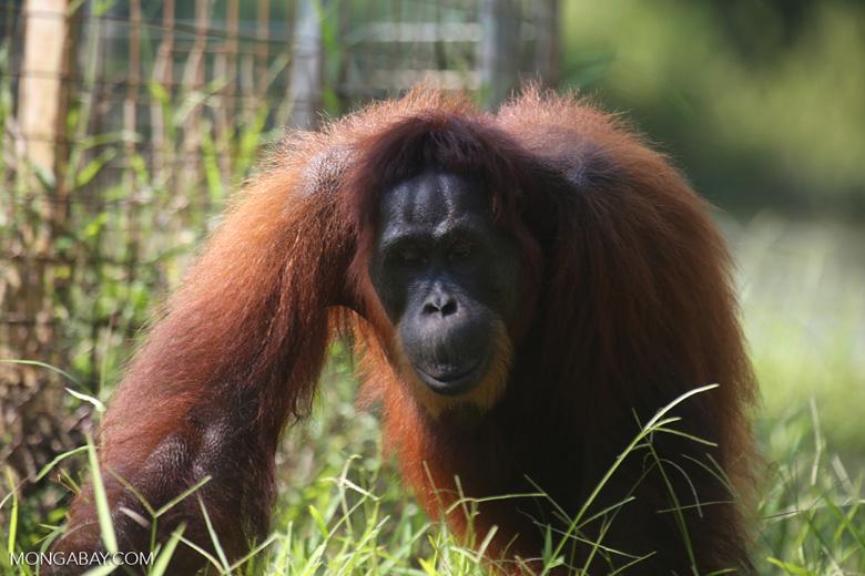 Bornean orangutan in Borneo [kalteng_1000]