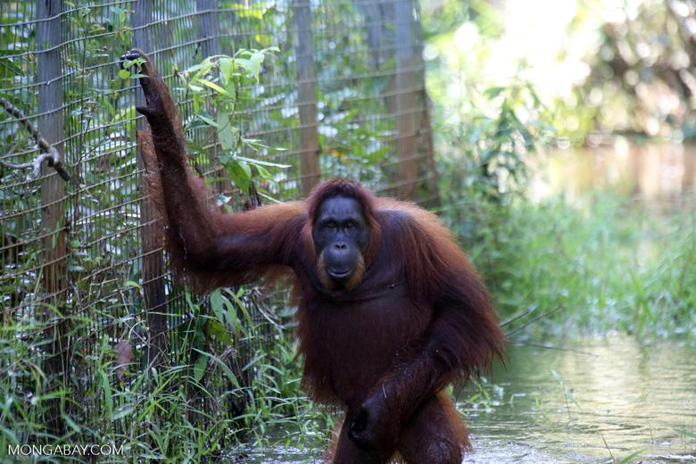 Bornean orangutan in Borneo on orangutan island