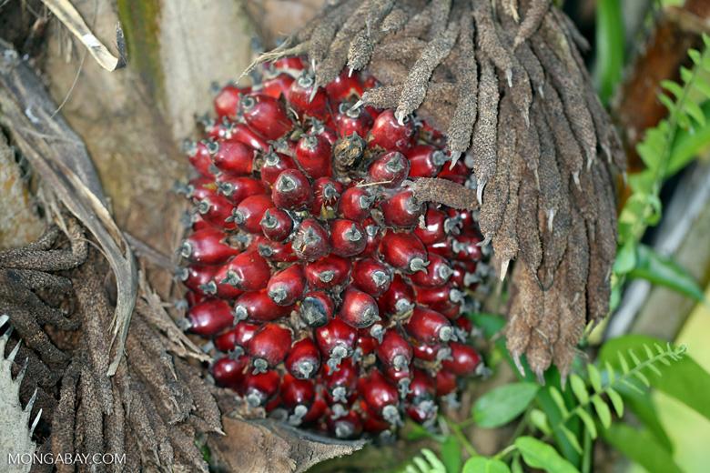 Oil palm fresh fruit bunch [kalteng_1070]