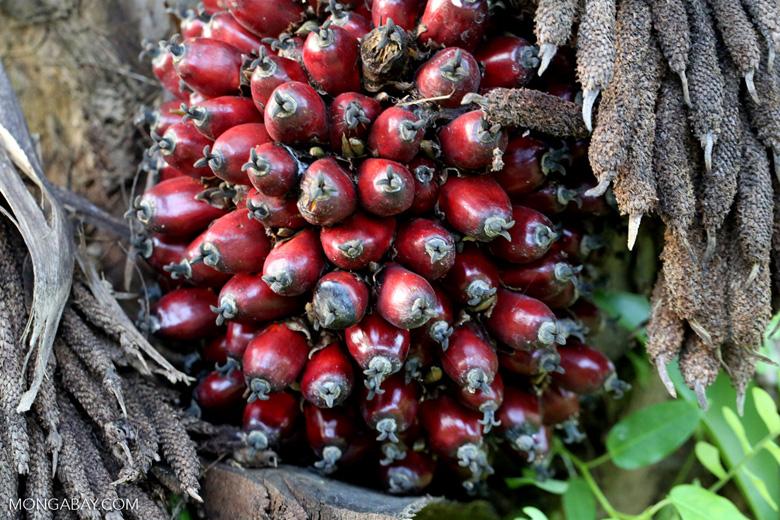 Oil palm fresh fruit bunch [kalteng_1072]