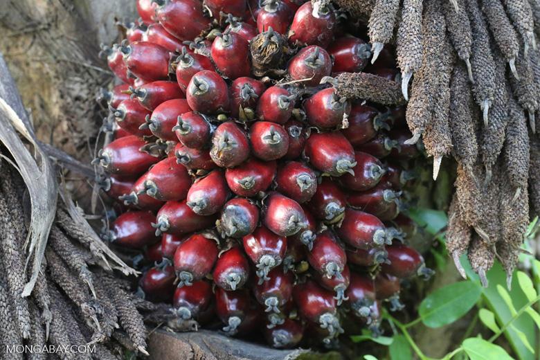 Oil palm fresh fruit bunch [kalteng_1073]