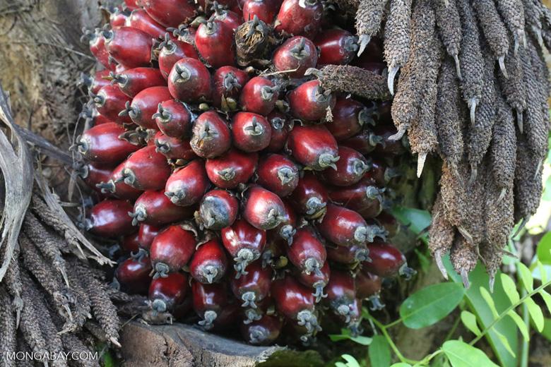 Oil palm fresh fruit bunch [kalteng_1074]
