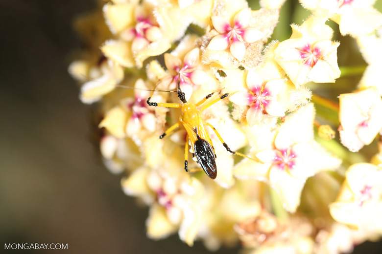 Yellow and black assassin bug on a flower