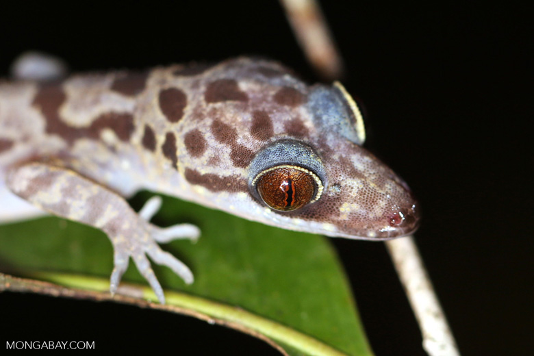 Gecko [kalteng_1132]