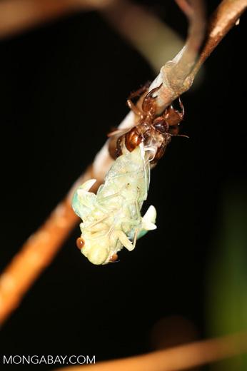 Cicada emerging [kalteng_1139]
