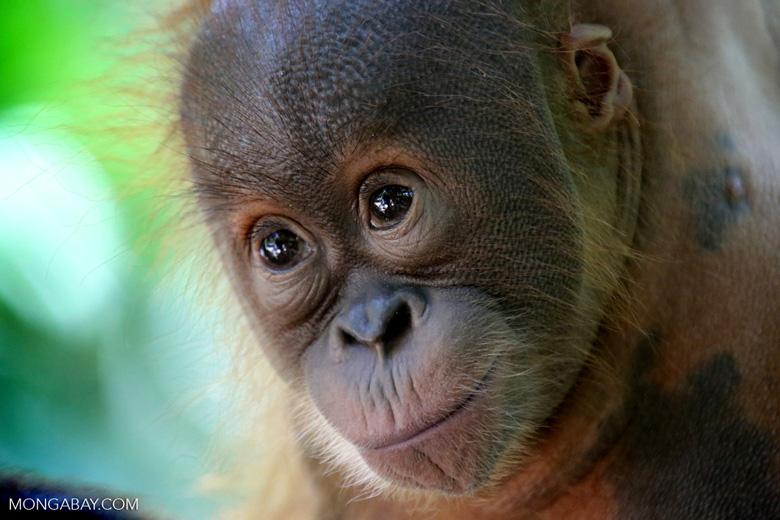 Baby Sumatran orangutan. Photo by Rhett A. Butler