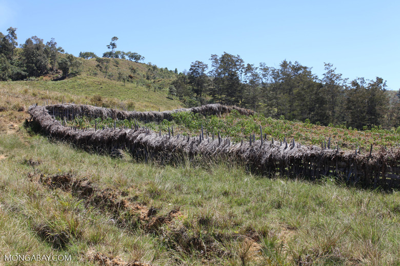 Papuan fence